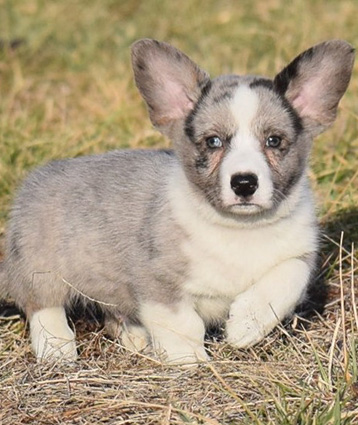 Cardigan Welsh Corgi puppy