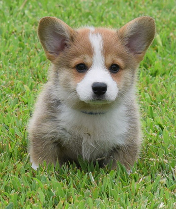 Mini Corgi Puppies For Sale >> Corgi Breeders In Kansas Akc Pembroke Welsh Corgi Puppies