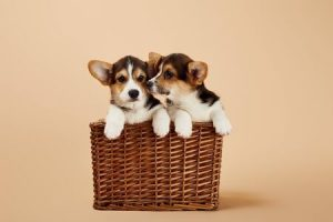 cute welsh corgi puppies in wicker basket on beige background
